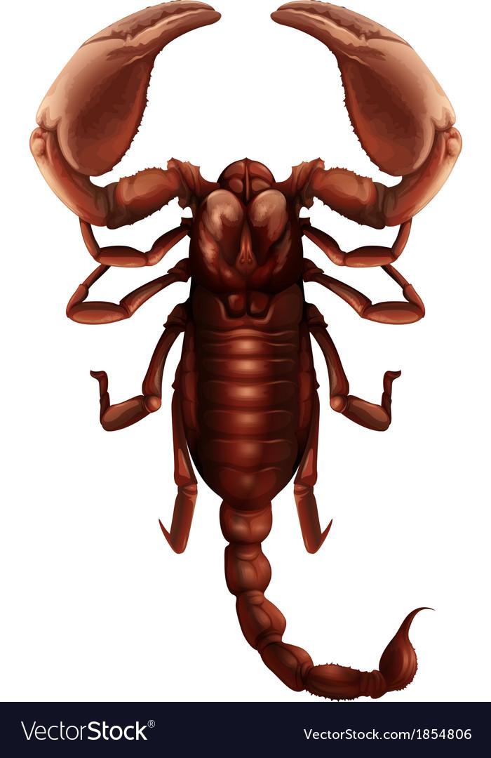 Scorpion - buthus genus vector | Price: 1 Credit (USD $1)