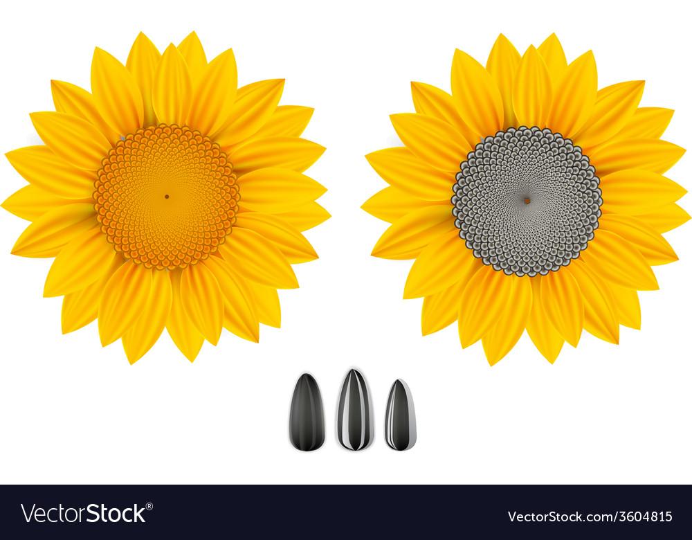 Sunflowers vector | Price: 1 Credit (USD $1)