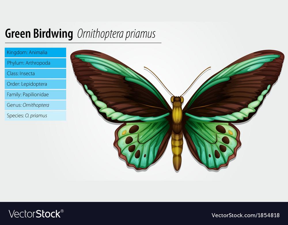 Green birdwing butterfly vector | Price: 1 Credit (USD $1)