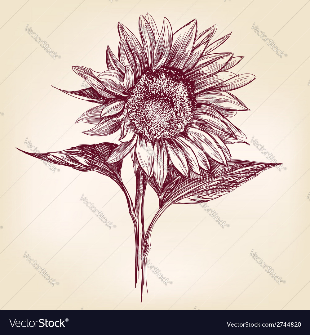 Sunflower hand drawn llustration realistic sketch vector | Price: 1 Credit (USD $1)