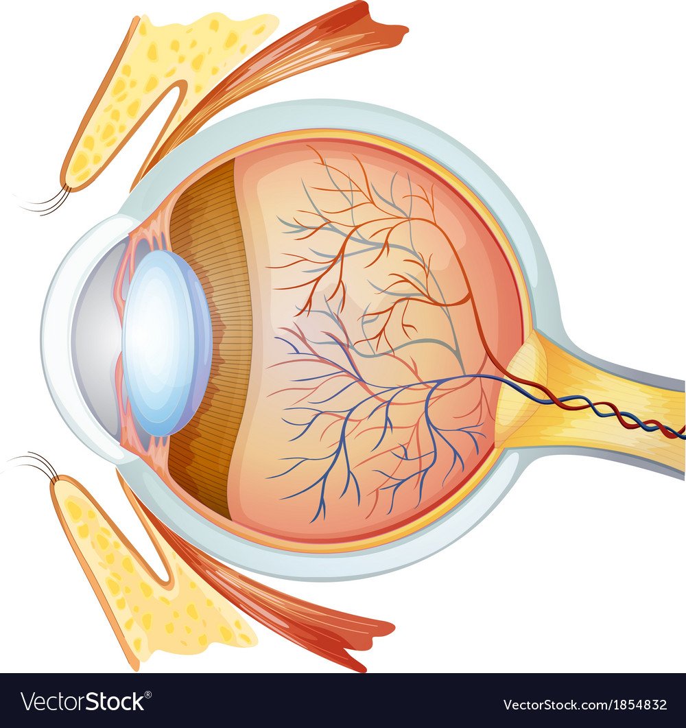 Human eye cross section vector | Price: 1 Credit (USD $1)