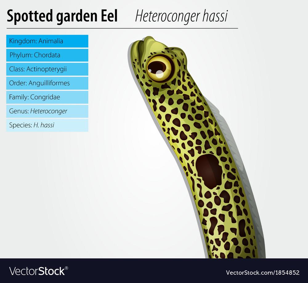 Spotted garden eel vector | Price: 1 Credit (USD $1)