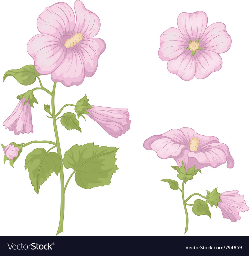 Flowers mallow isolated vector | Price: 1 Credit (USD $1)