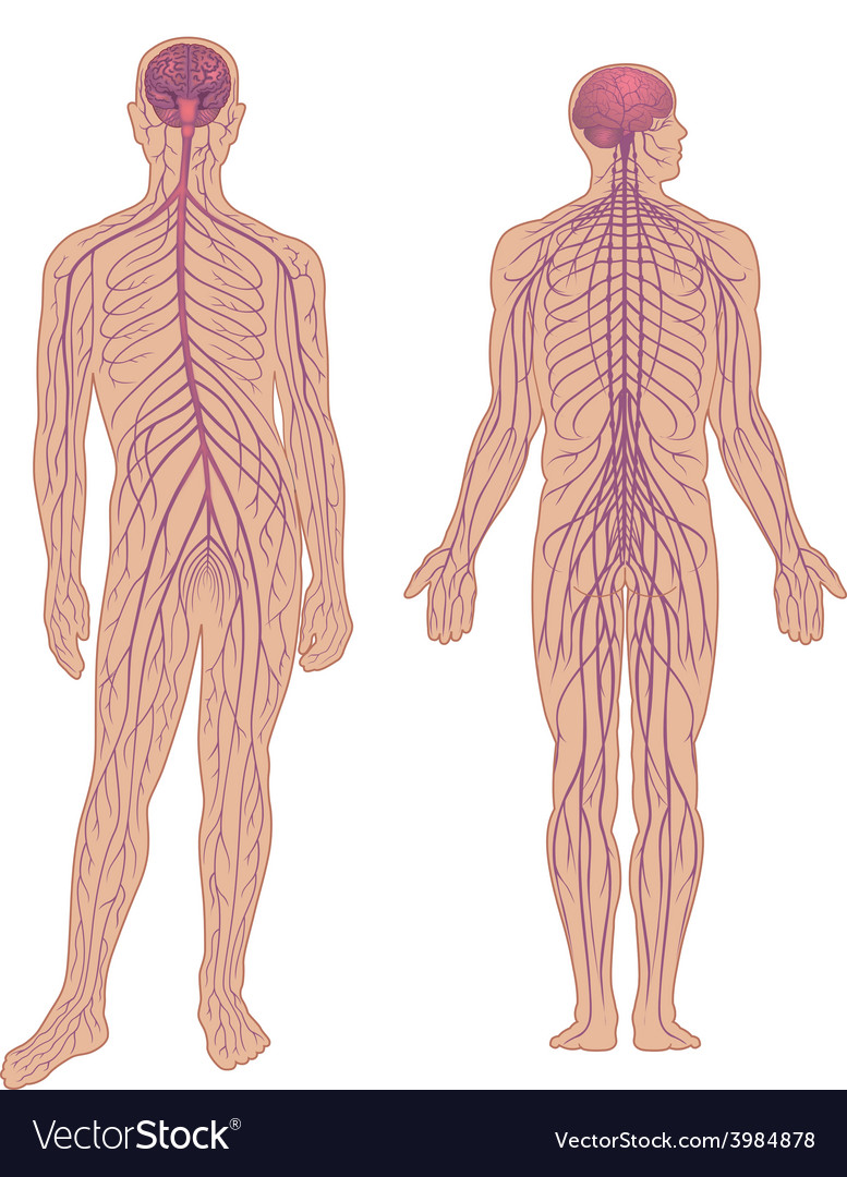Nervous system vector | Price: 1 Credit (USD $1)