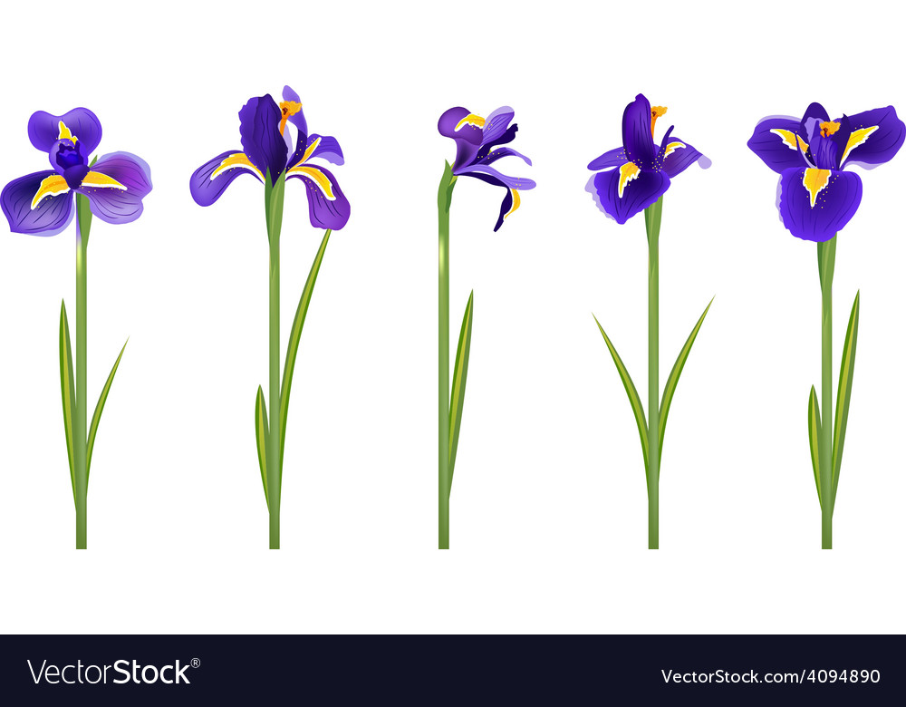 Set with five detailed irises vector | Price: 1 Credit (USD $1)