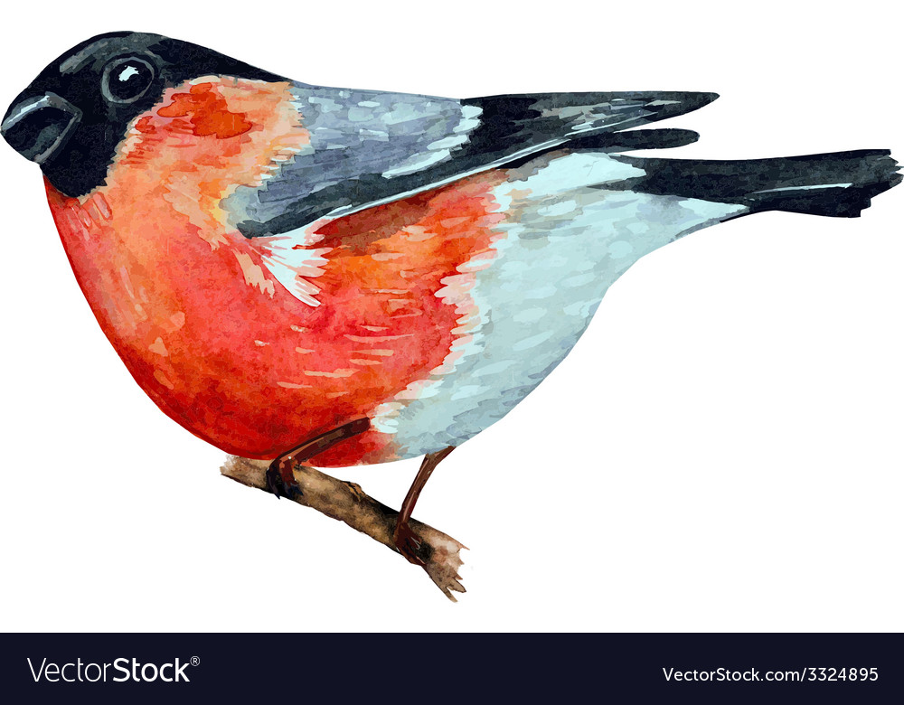 Watercolor painting bullfinch on branch vector | Price: 1 Credit (USD $1)