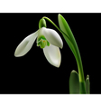Snowdrop with green leaves vector