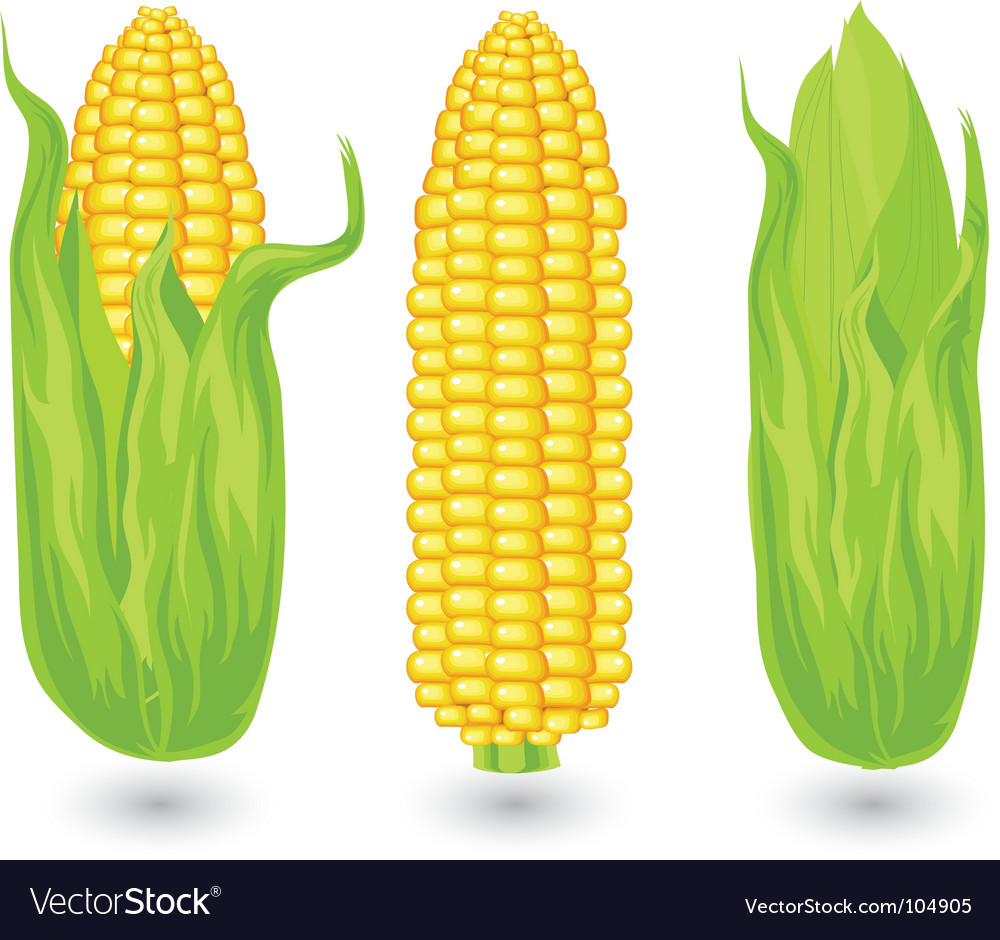 Ears of ripe corn vector | Price: 1 Credit (USD $1)