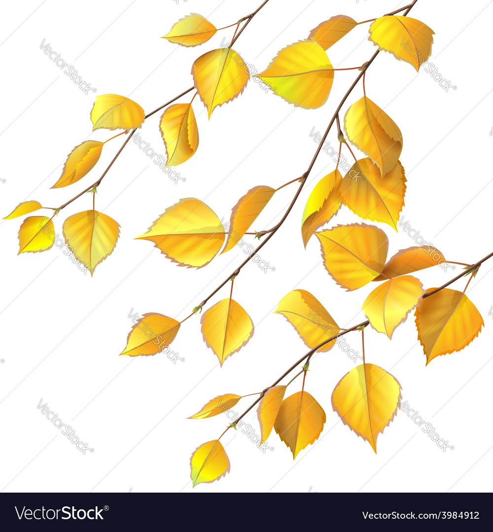 Yellow birch leaves vector | Price: 1 Credit (USD $1)