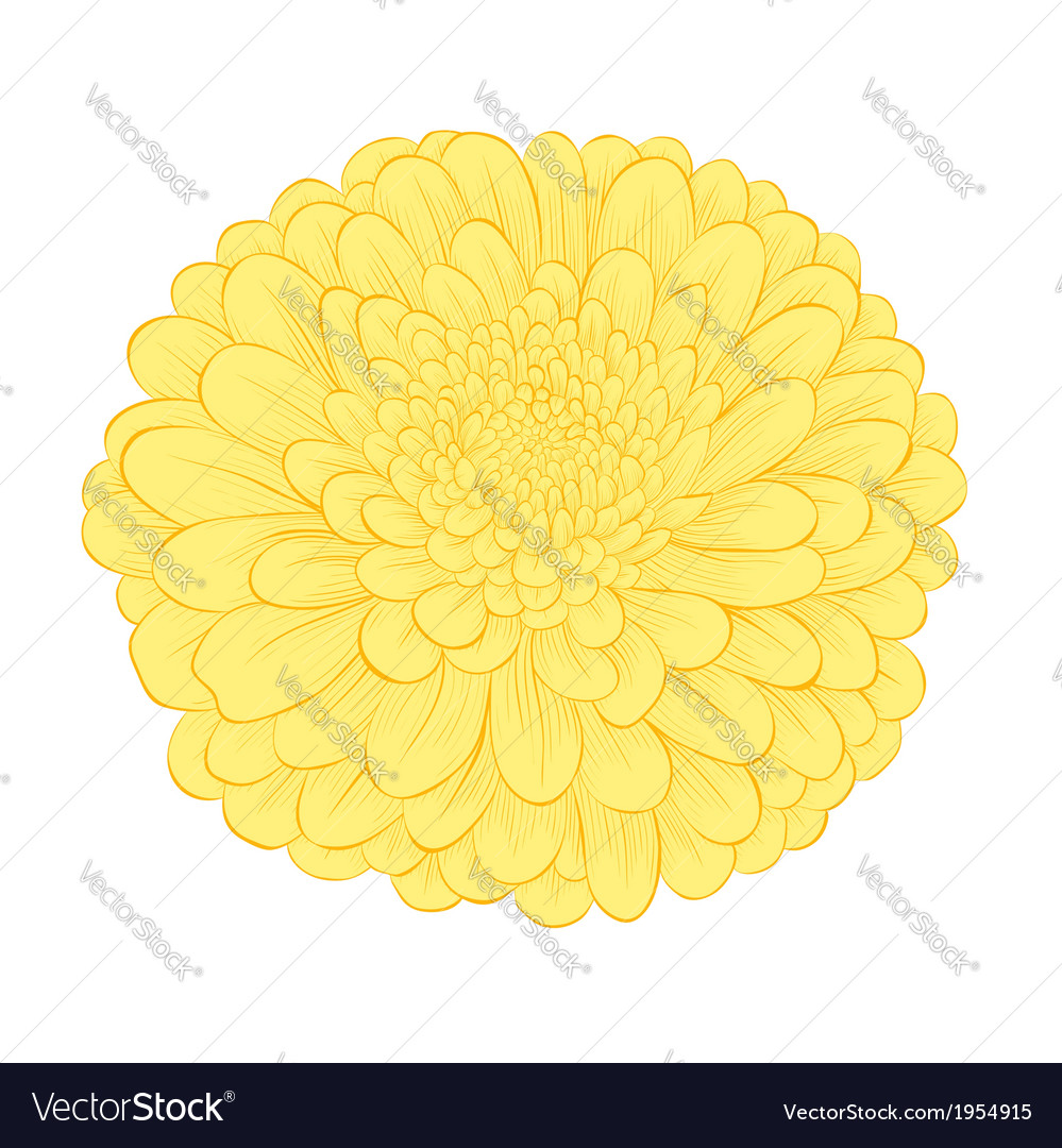 Beautiful yellow flower isolated on white backgrou vector | Price: 1 Credit (USD $1)