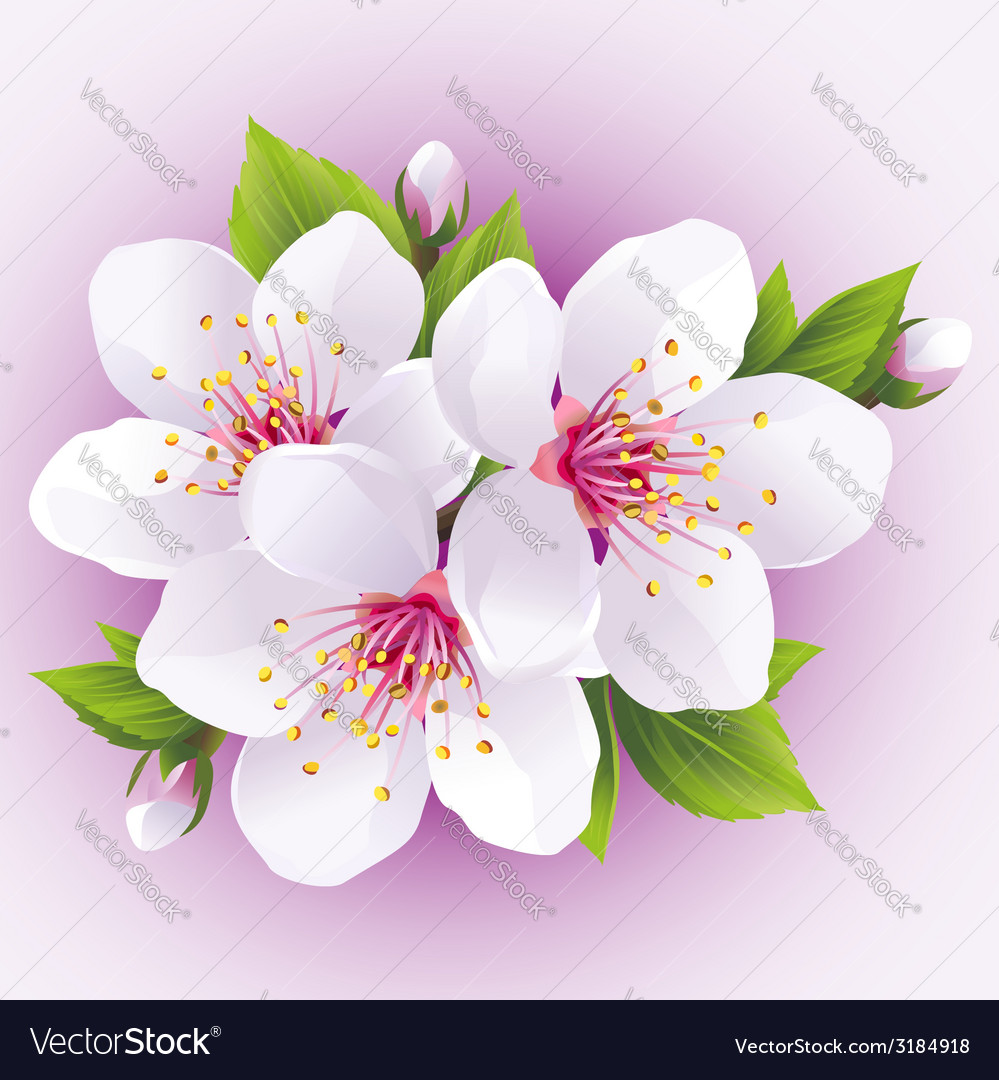 Blossoming sakura branch japanese cherry tree vector | Price: 1 Credit (USD $1)