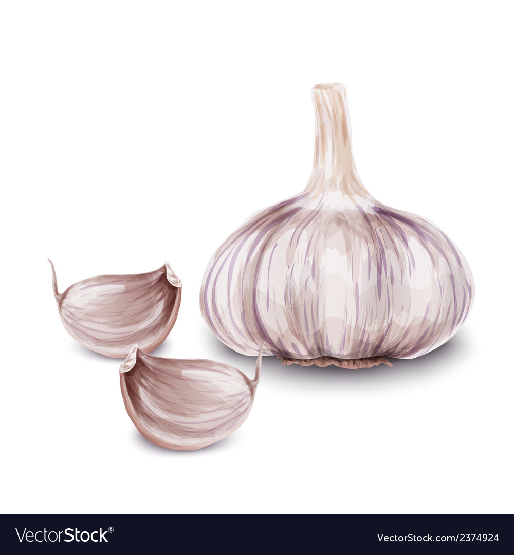 Fresh garlic isolated vector | Price: 3 Credit (USD $3)
