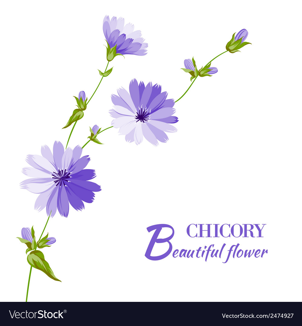 Blue chicory flowers vector | Price: 1 Credit (USD $1)