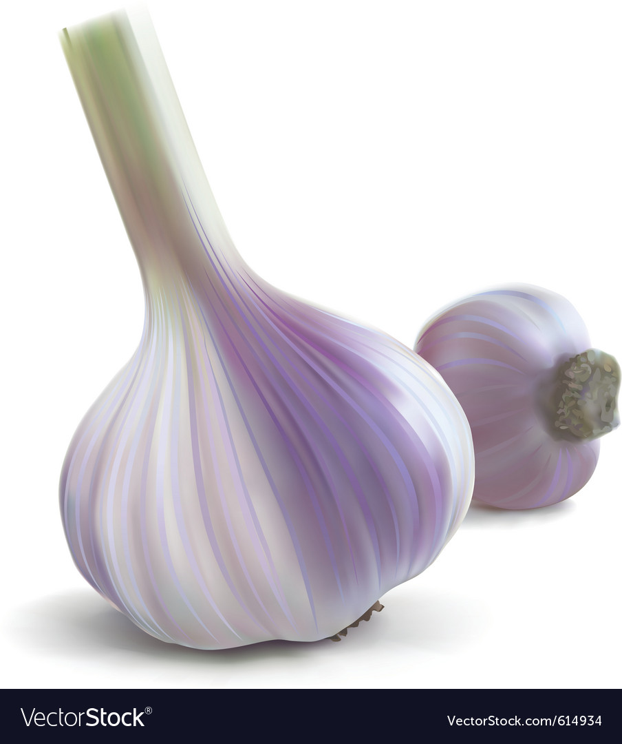 Garlic fresh vector | Price: 1 Credit (USD $1)