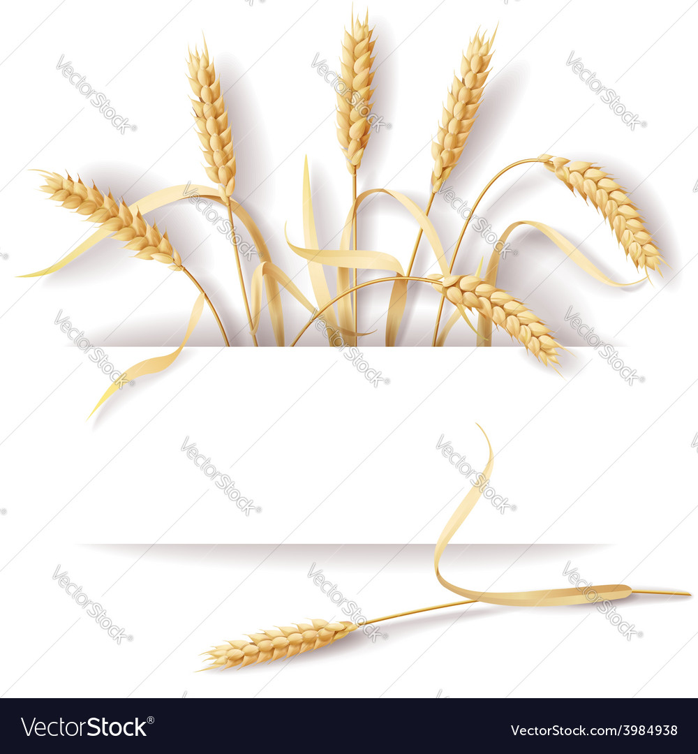 Wheat ears banner vector | Price: 1 Credit (USD $1)