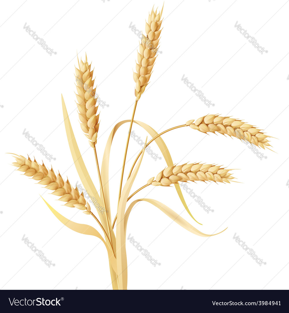 Wheat ears tuft vector | Price: 1 Credit (USD $1)