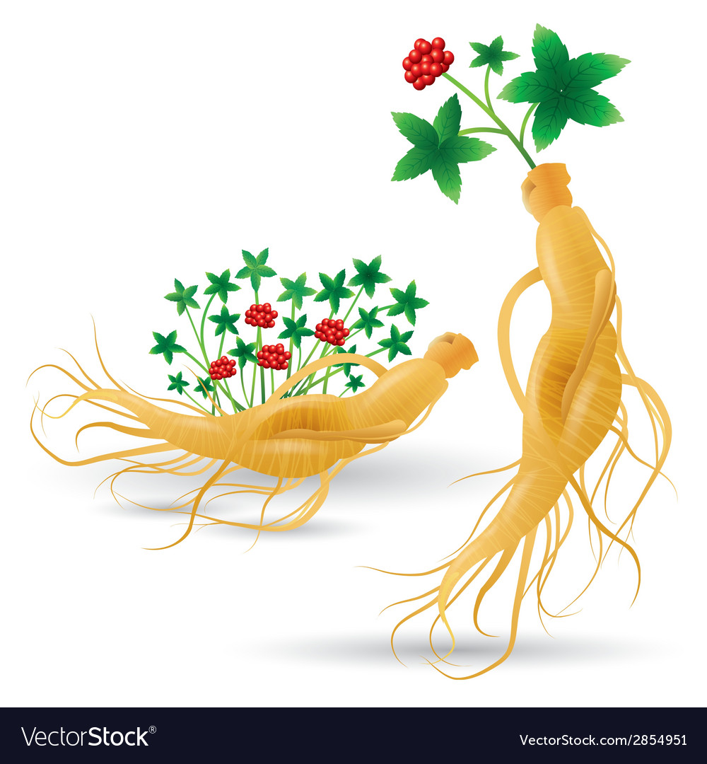 Ginseng plant vector | Price: 1 Credit (USD $1)