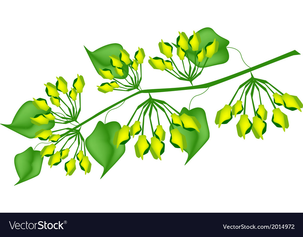Fresh cowslip creeper flower on white background vector | Price: 1 Credit (USD $1)