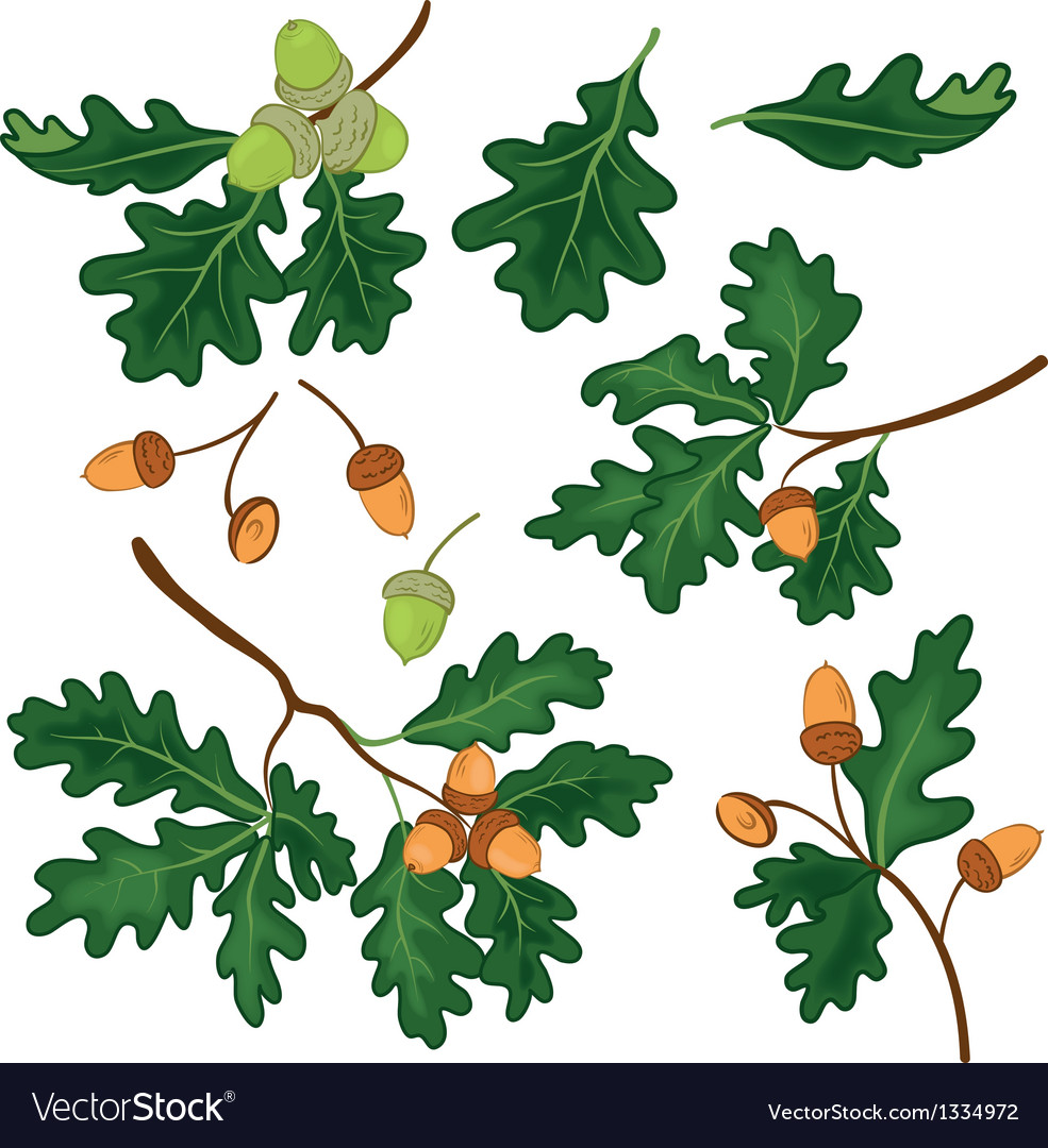 Oak branches with leaves and acorns vector | Price: 1 Credit (USD $1)