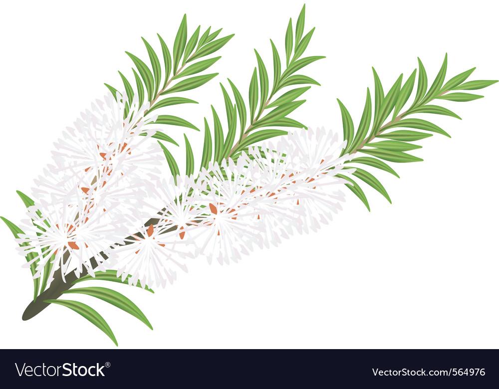 Melaleuca tea tree vector   Price: 1 Credit (USD $1)