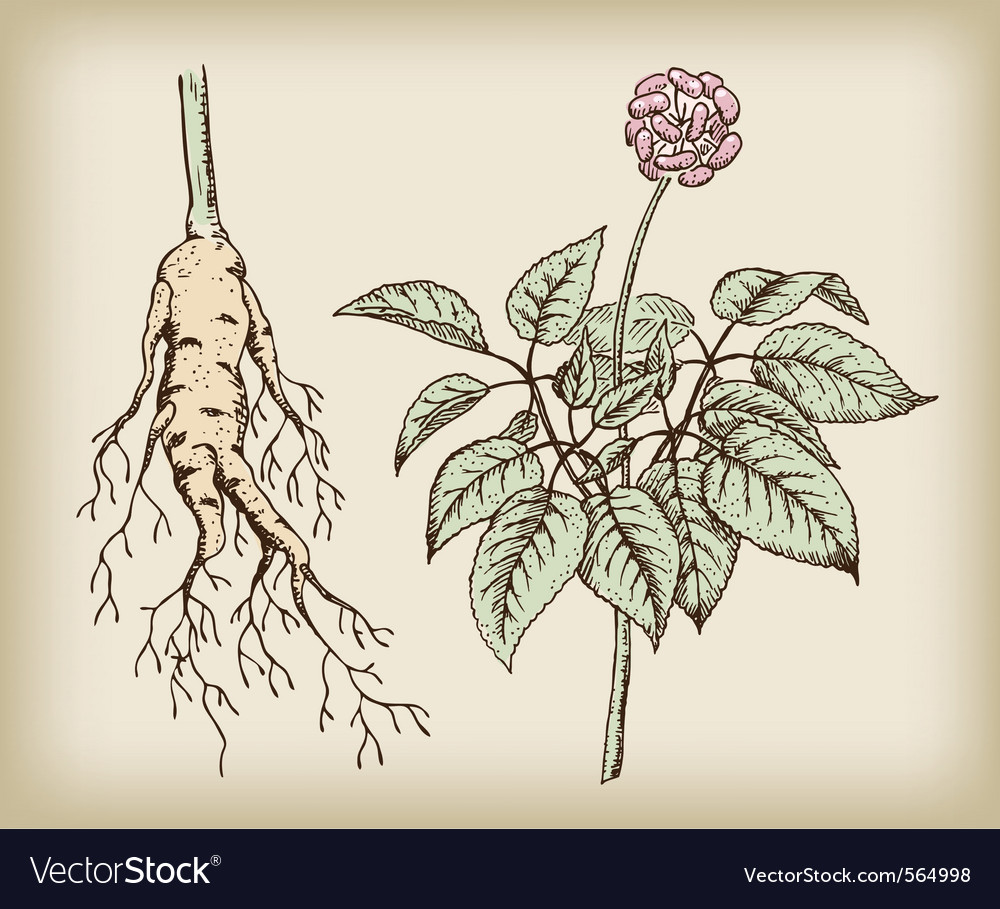 Medicinal plant root vector | Price: 1 Credit (USD $1)