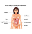 Human digestive system vector