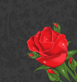 Beautiful rose isolated on grunge background vector