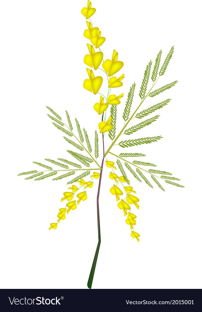 Fresh sesbania javanica plant on white background vector | Price: 1 Credit (USD $1)