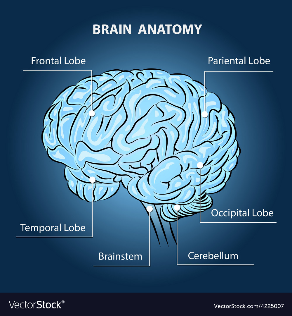 Brain anatomy vector | Price: 3 Credit (USD $3)