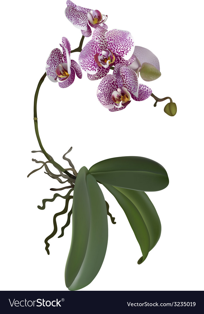 Realistic of phalaenopsis vector | Price: 1 Credit (USD $1)