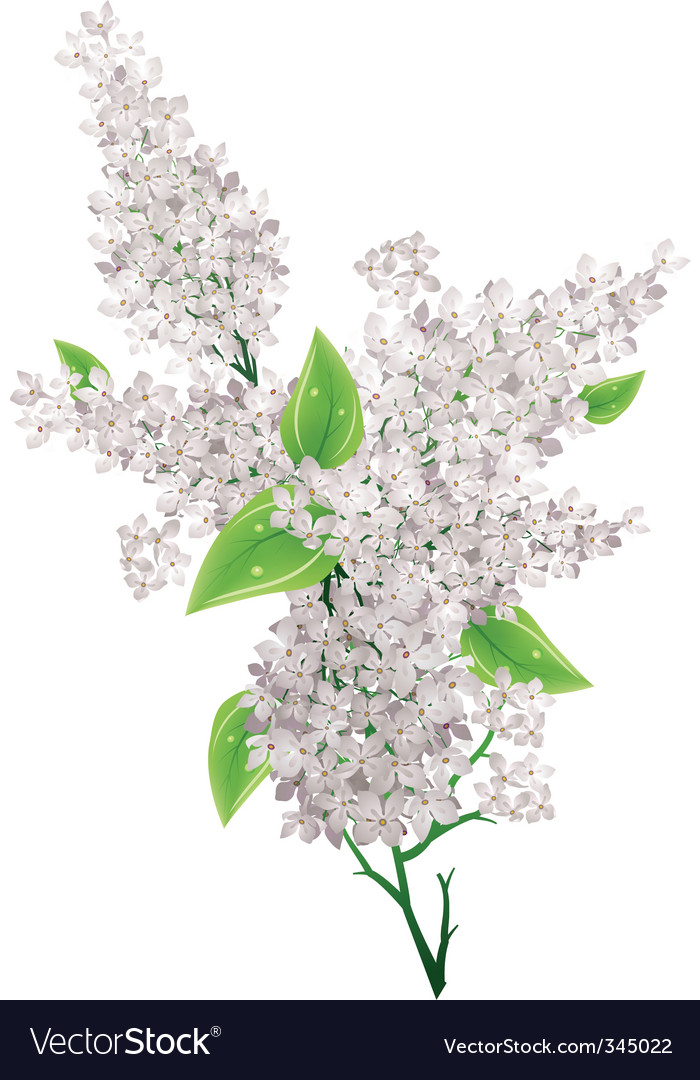 Lilac bunch vector | Price: 1 Credit (USD $1)