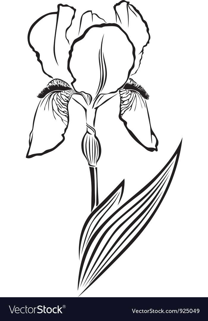 Iris pogon vector | Price: 1 Credit (USD $1)
