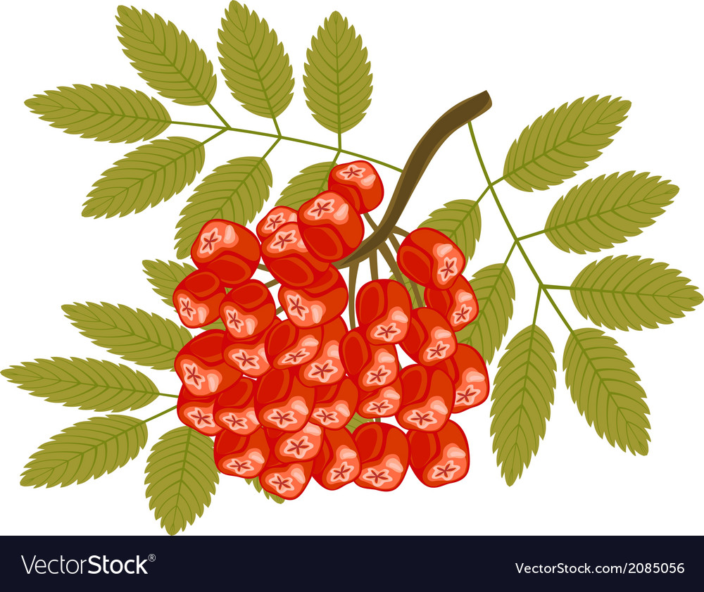 Rowanberry isolated on white vector | Price: 1 Credit (USD $1)