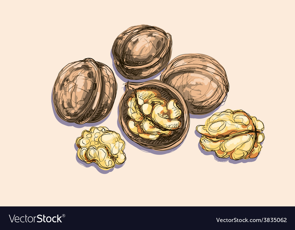 Drawing of a walnuts vector | Price: 1 Credit (USD $1)