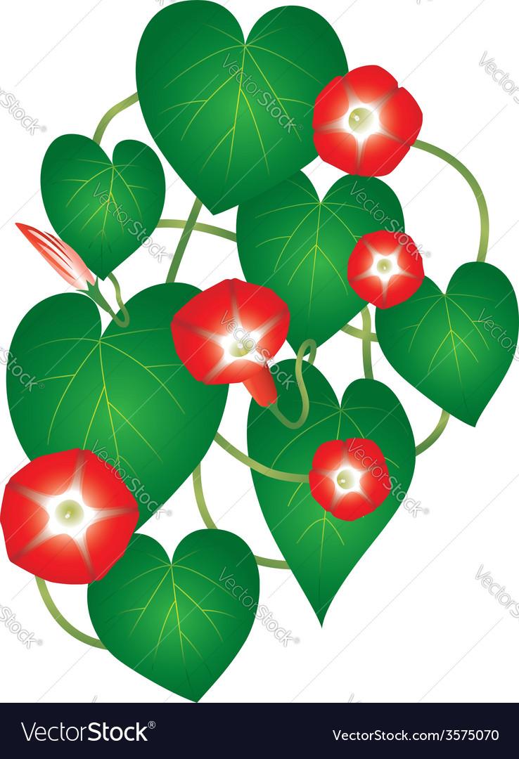 Ipomoea red star flower vector | Price: 1 Credit (USD $1)
