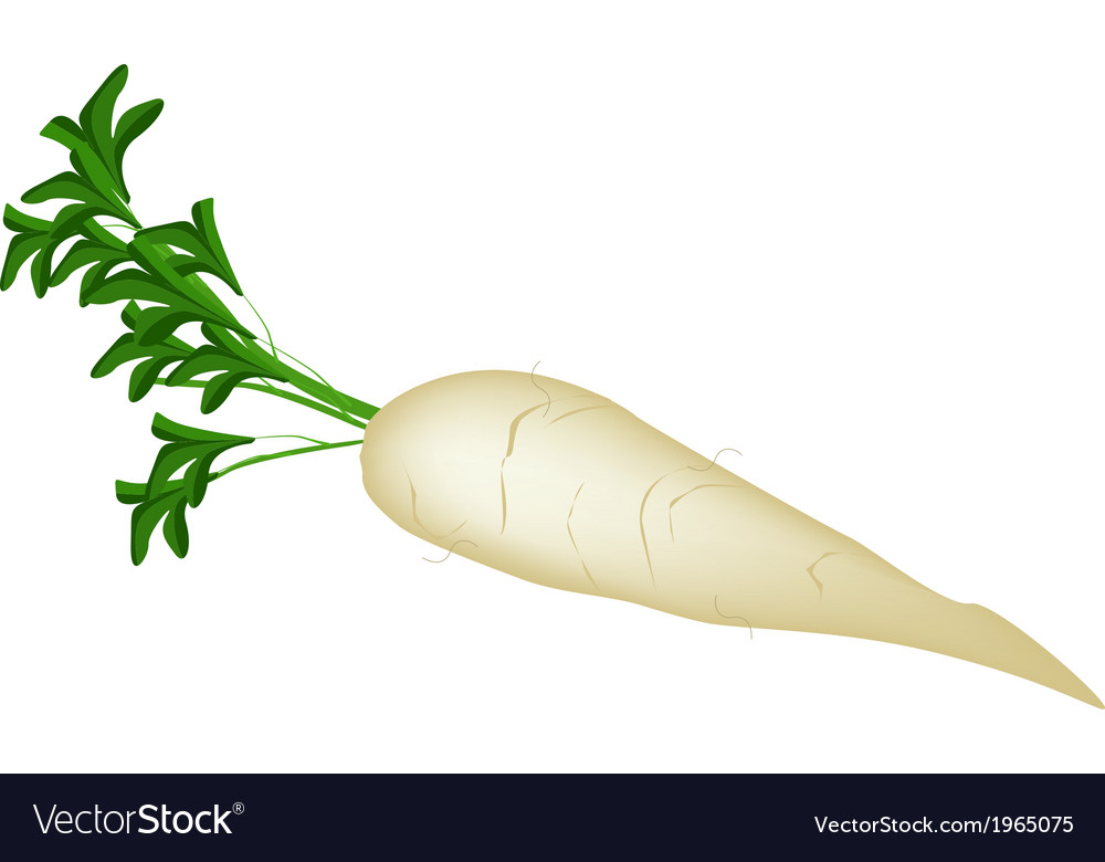 Delicious fresh white radish on white background vector | Price: 1 Credit (USD $1)