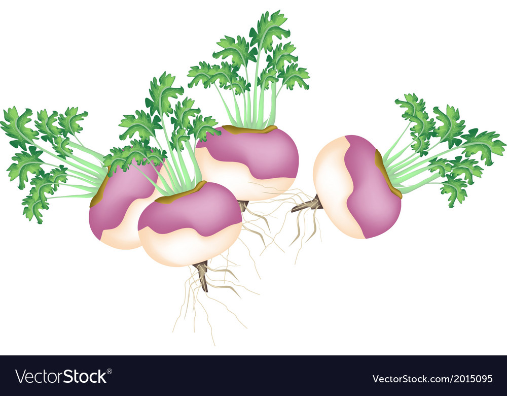 A group of purple turnip on white background vector | Price: 1 Credit (USD $1)