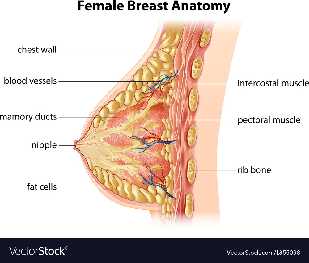 Female breast anatomy vector | Price: 1 Credit (USD $1)