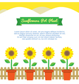 Sunflowers pot plant on white background vector