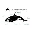 Killer whale anatomy vector