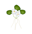 Fresh common frogbit plant on white background vector
