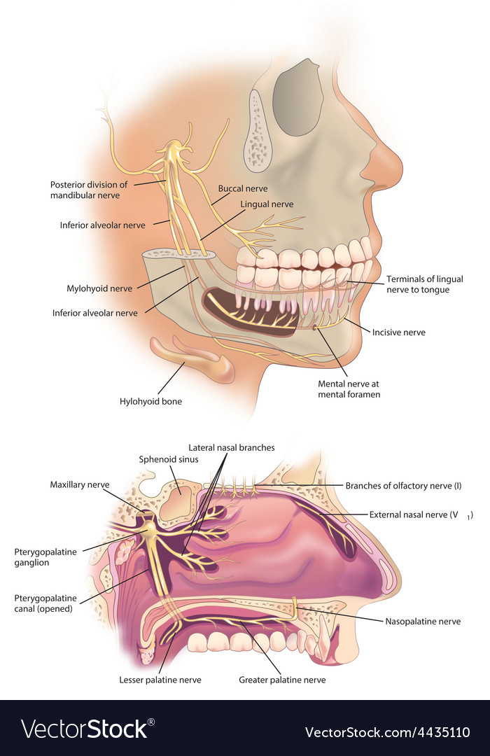 Facial nerves vector | Price: 3 Credit (USD $3)