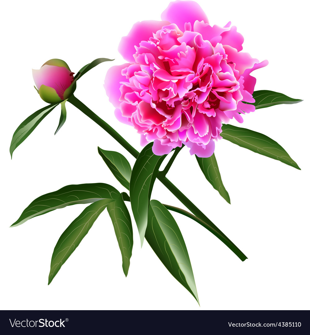 Red realistic paeonia flower with leaves and bud vector | Price: 1 Credit (USD $1)