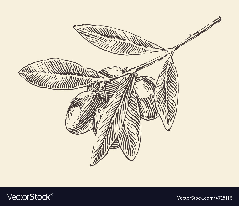 Olive branch olive tree branches vintage vector | Price: 1 Credit (USD $1)