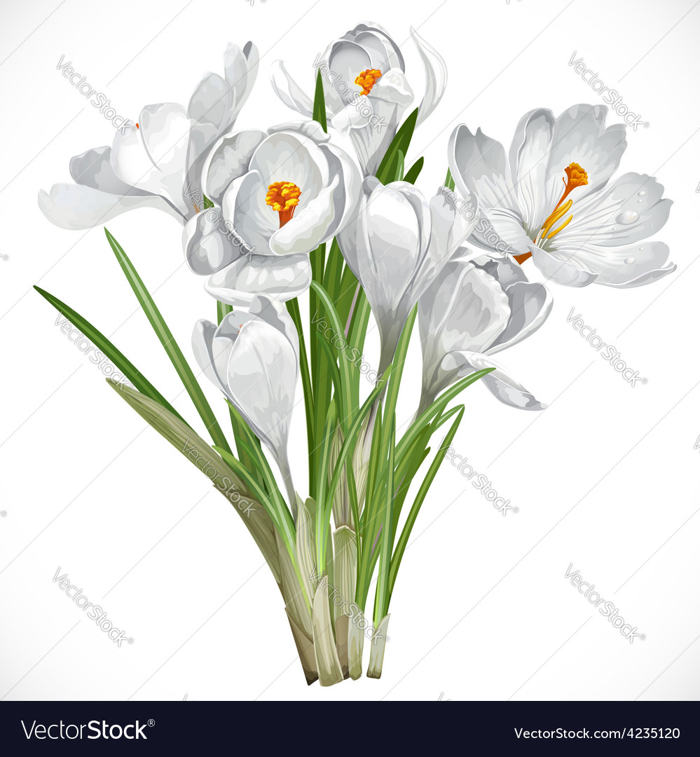 Spring white crocuses on the vine isolated on vector | Price: 3 Credit (USD $3)