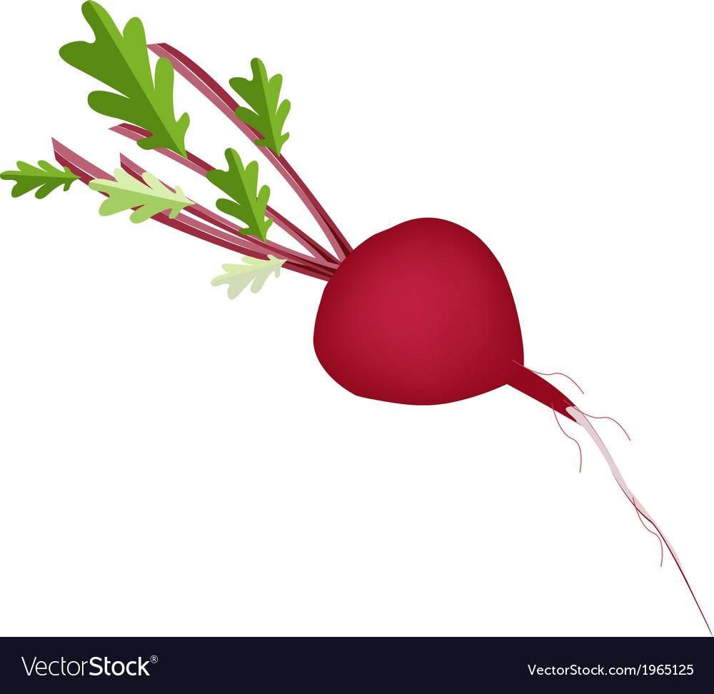 Fresh radish or beet on white background vector | Price: 1 Credit (USD $1)