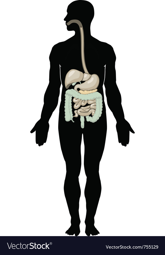 Digestive system vector   Price: 1 Credit (USD $1)