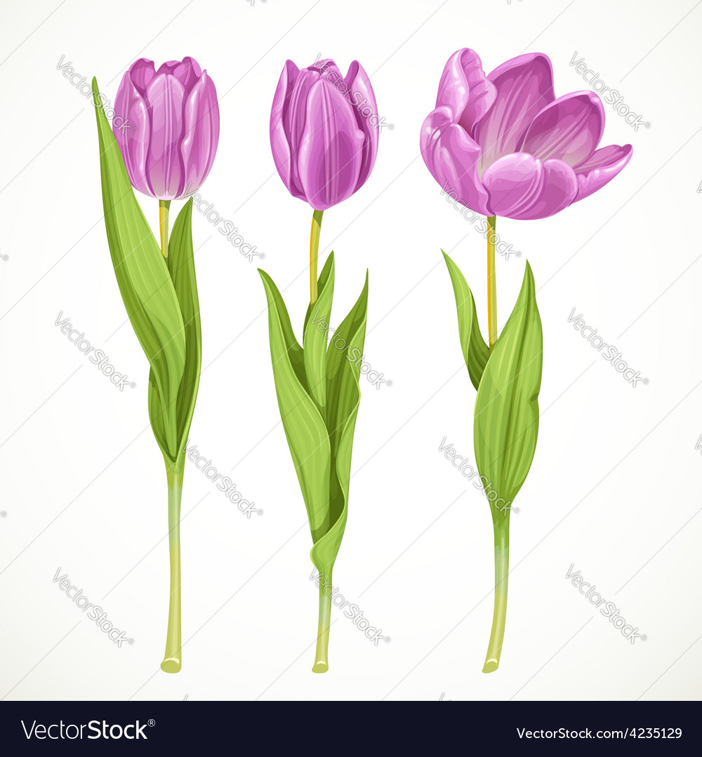 Three purple tulips isolated on a white vector   Price: 3 Credit (USD $3)