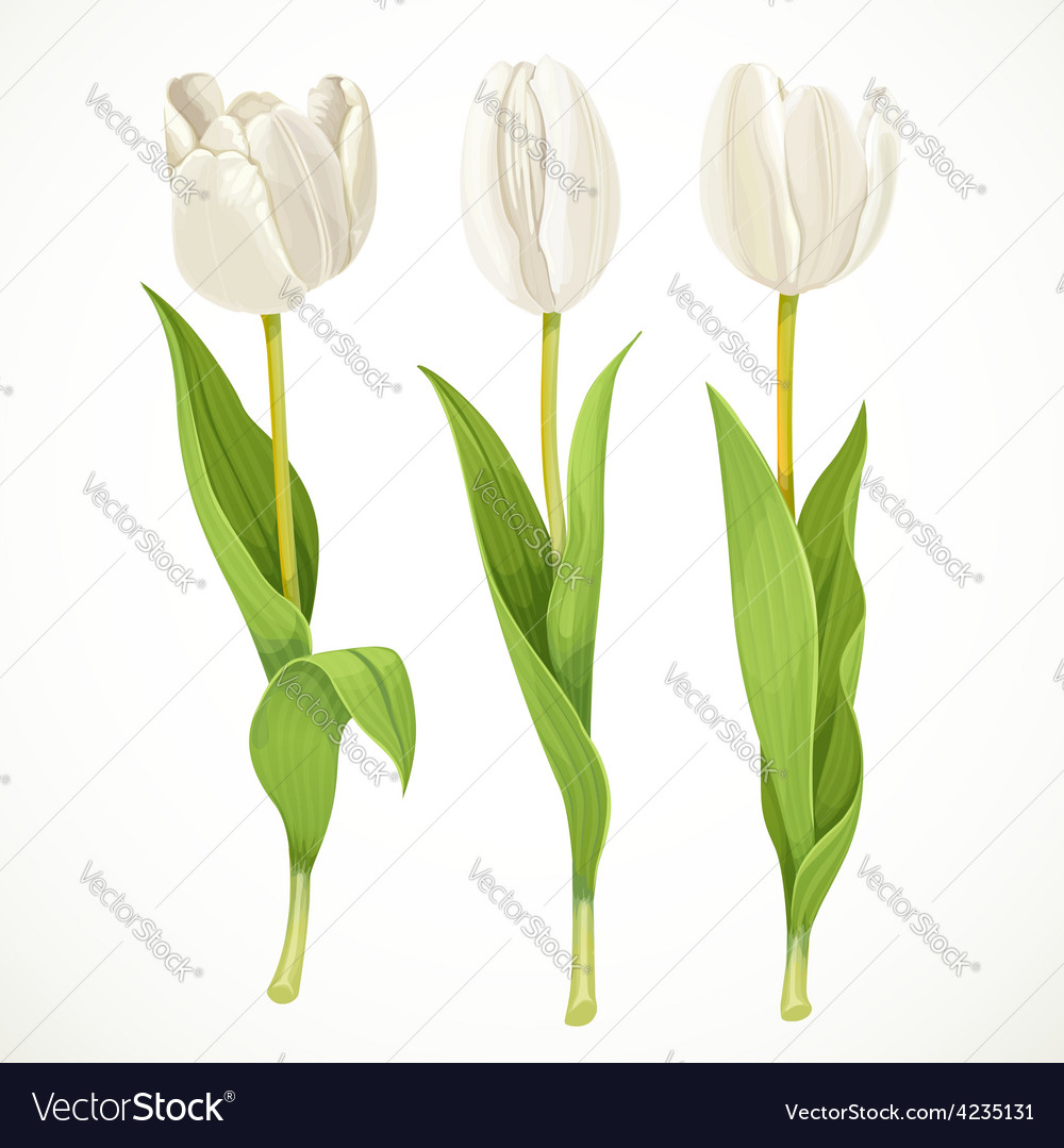Three white flowers tulips isolated on a vector   Price: 3 Credit (USD $3)
