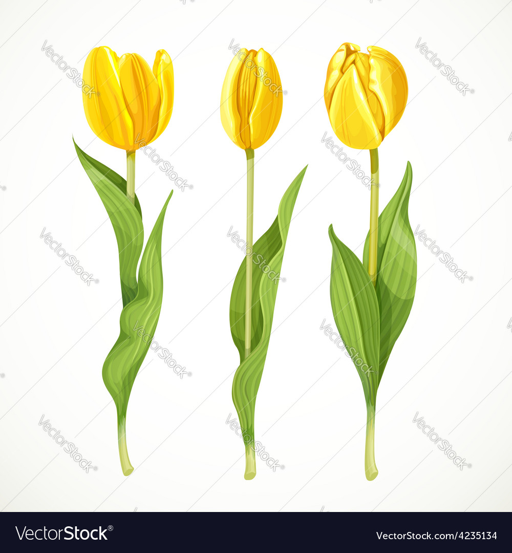Three yellow tulips isolated on a white vector | Price: 3 Credit (USD $3)